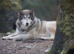 Beauties at Wolf Haven International